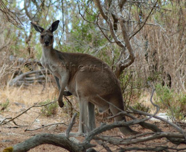 kangaroos-and-koalas-01