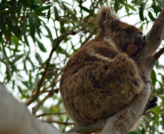 kangaroos-and-koalas-02