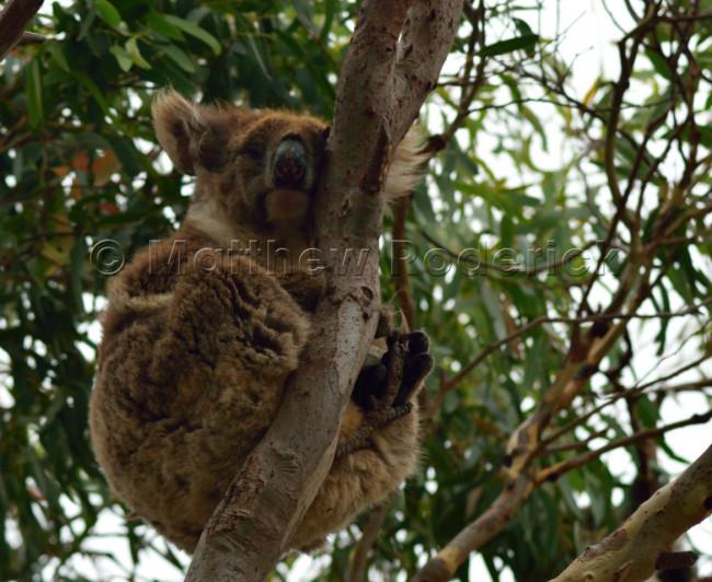 kangaroos-and-koalas-03