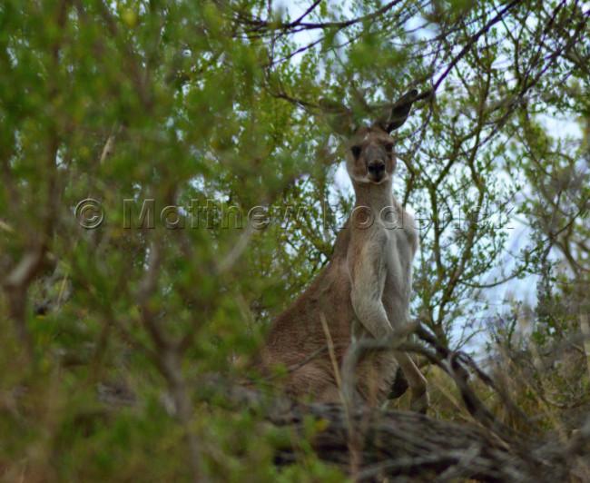 kangaroos-and-koalas-04