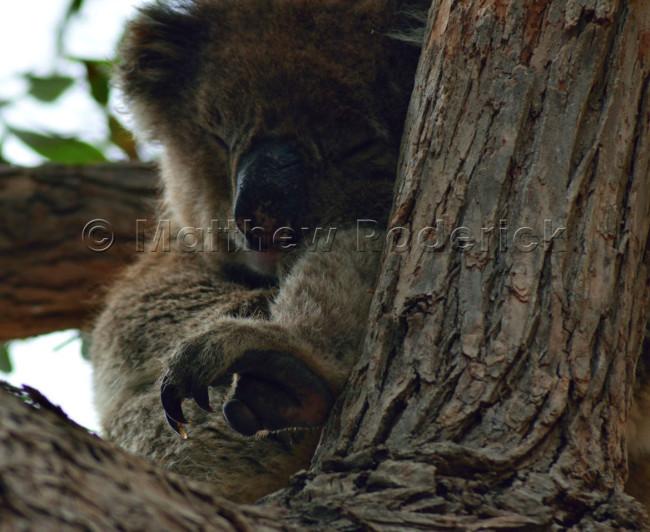kangaroos-and-koalas-08