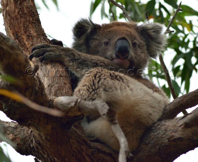kangaroos-and-koalas-10