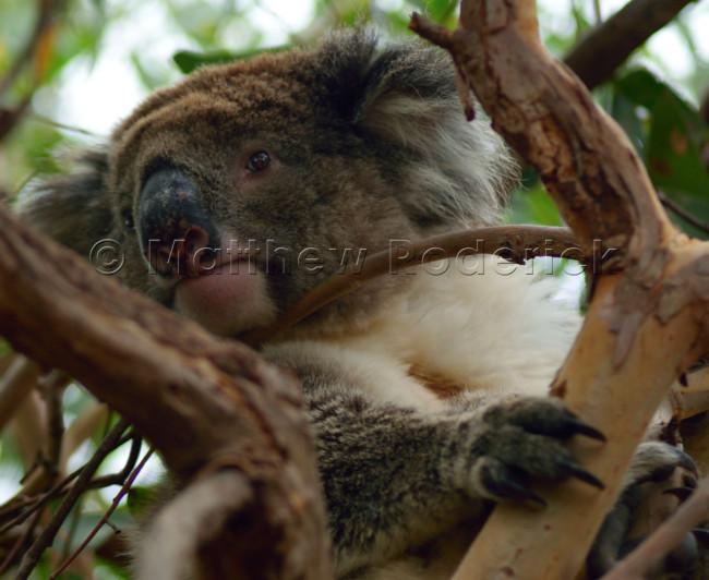 kangaroos-and-koalas-11