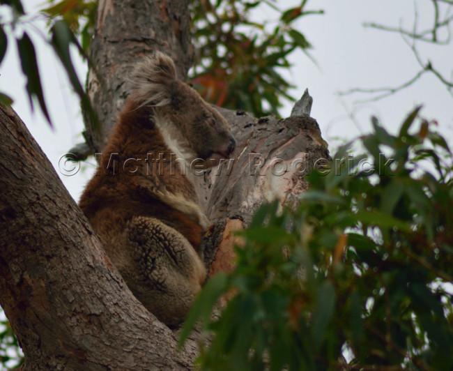 kangaroos-and-koalas-12