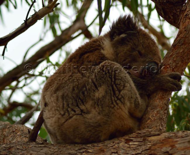 kangaroos-and-koalas-13