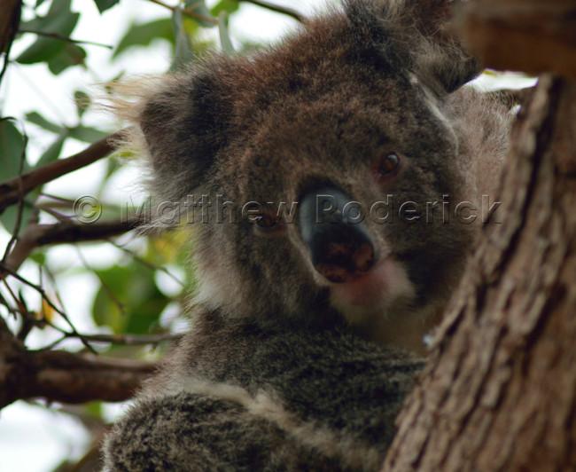 kangaroos-and-koalas-14